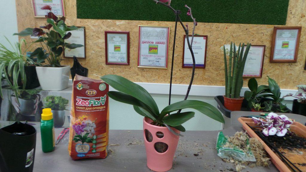 орхидея в кашпо и грунте из цеолита
