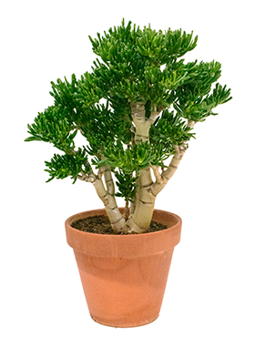 crassula_gollum_bush