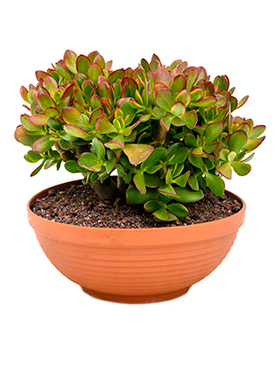 crassula_sunset_colorata_bush